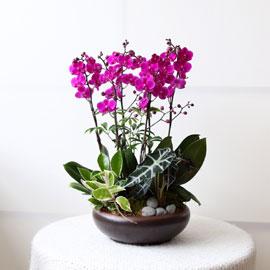 감사의 존경의 선물로 최고선물 서양란 -  베스트 만천홍 꽃배달하시려면 이미지를 클릭해주세요