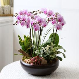 감사의 존경의 선물로 최고선물 서양란 -  베스트 핑크호접란 꽃배달하시려면 이미지를 클릭해주세요