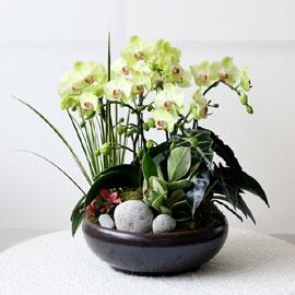 감사의 존경의 선물로 최고선물 서양란 -  베스트 포춘 꽃배달하시려면 이미지를 클릭해주세요