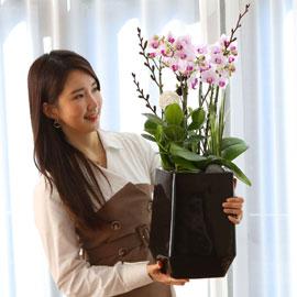 Office & Nature 상큼한 호접란 리틀잼 꽃배달하시려면 이미지를 클릭해주세요