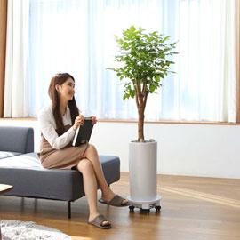 실내에서 키우기 좋고 생명력이 강한 식물 - 행복나무 꽃배달하시려면 이미지를 클릭해주세요