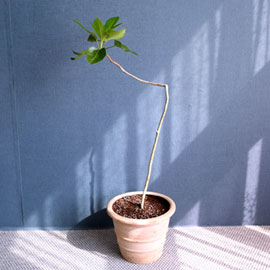 황칠나무 꽃배달하시려면 이미지를 클릭해주세요