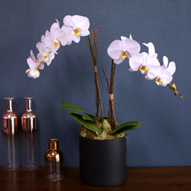 [수도권 배송] Office & Nature Elegant white orchids 꽃배달하시려면 이미지를 클릭해주세요