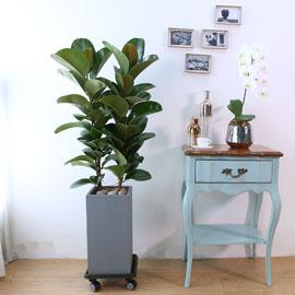 Indoor garden 고무나무 꽃배달하시려면 이미지를 클릭해주세요