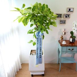 Indoor garden 뱅갈고무나무 꽃배달하시려면 이미지를 클릭해주세요
