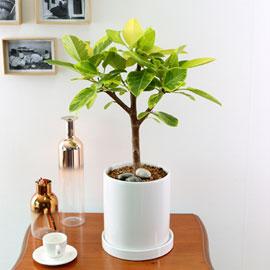 Indoor garden 뱅갈고무나무(소) 꽃배달하시려면 이미지를 클릭해주세요