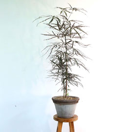반려식물로 힐링해요 - 톱니모양의 독특한 잎을 가진 아라리아 꽃배달하시려면 이미지를 클릭해주세요
