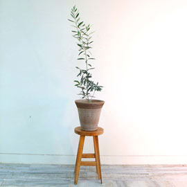 반려식물로 힐링해요 - 평화의 상징 지중의 식물 올리브 꽃배달하시려면 이미지를 클릭해주세요