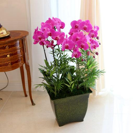 Office&Nature화려한 빛깔의 핑크호접란 24%