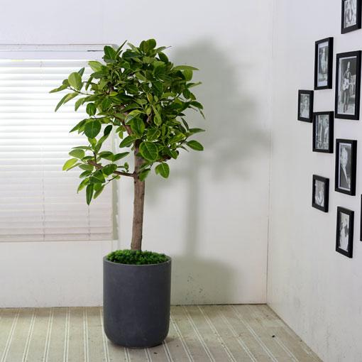 관엽화분 대품뱅갈 고무나무(대품)