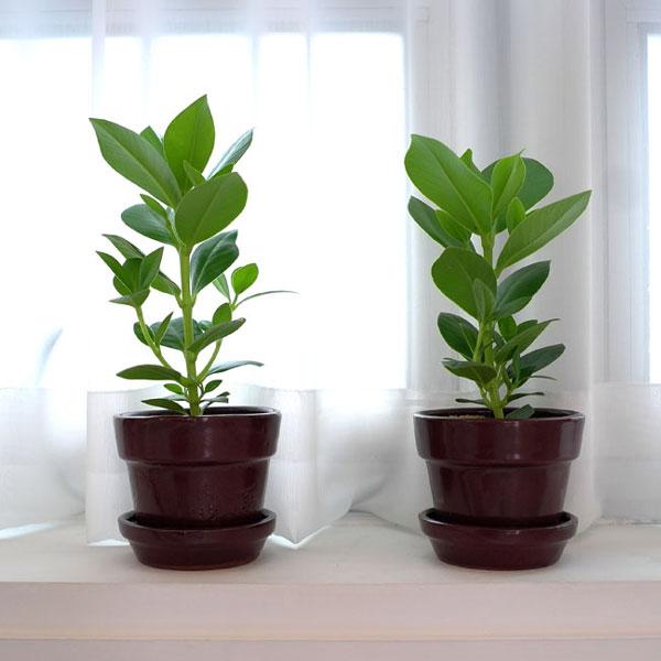 테이블 장식으로 좋아요[수도권배송] 공기정화식물  크루시아 2set 18%