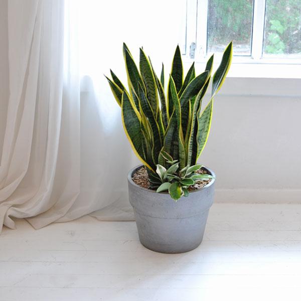 공기정화 식물다른식물보다 음이온배출이 30배나 높은 산세베리아