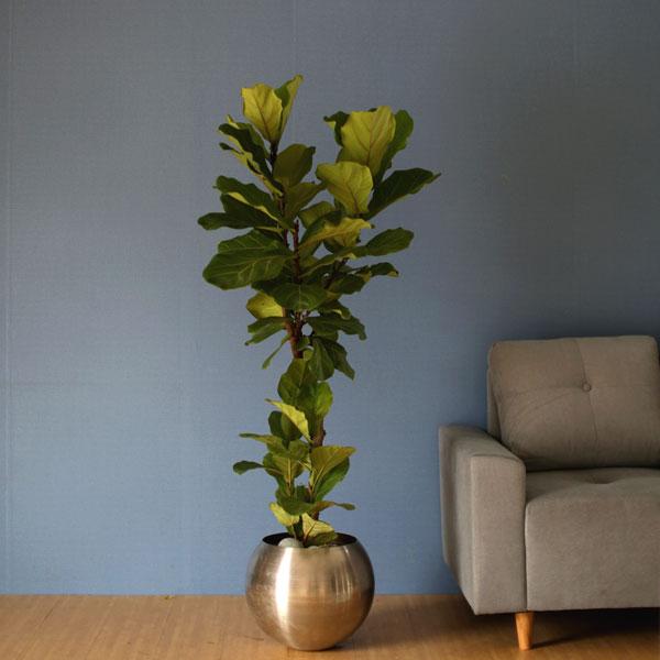 공간에 멋을 더하다모던한 스텐레스 원형화분에 심겨진 싱그러운 떡갈고무나무 20%