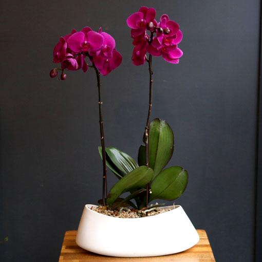 New orchid단아하고 우아한 서양란 20%세일