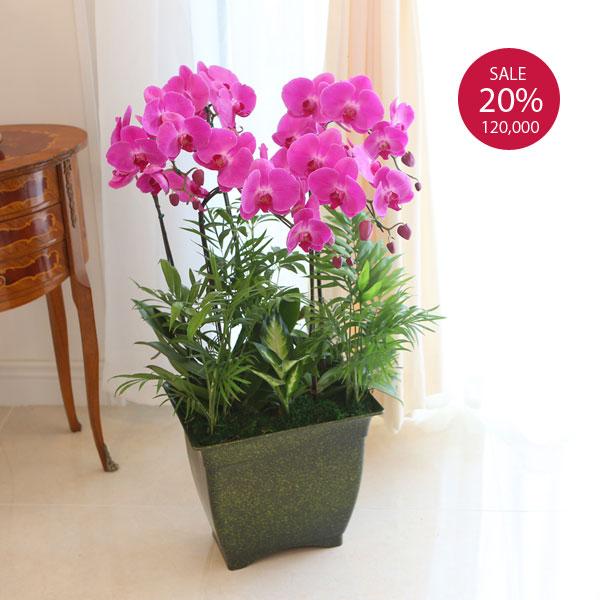 꽃을 오랫동안 볼 수 있는 호접란크고 화려하고 풍성한 호접란, 개업식을 빛내줍니다