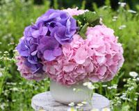 그녀가 좋아하는 꽃, 수국풍성한 꽃 속에 마음을 담아요