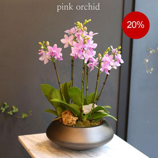 화려하면서 아름다운 색상을 가진 호접란청순한 수지같은 아름다운 꽃 호접란 비바체