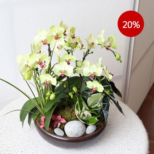 봄, 희망을 전하는 꽃소식새봄을 전해주는 연둣빛 호접란