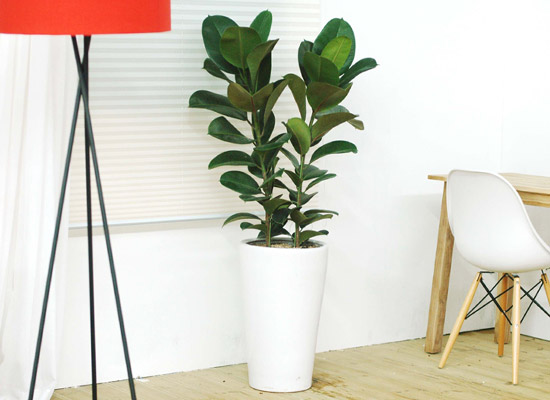 [화분강력추천] 고무나무大