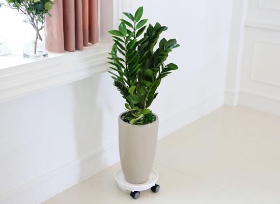 심플 관엽화분 - 금전수小