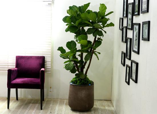 고급분에 심은 관엽화분 대품 - 떡갈나무(대품)