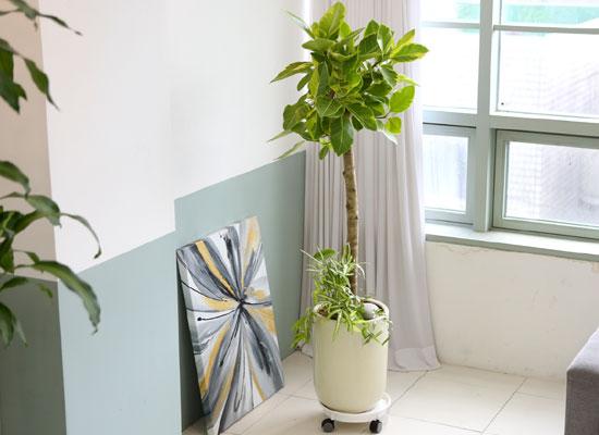 대표적인 개업축하화분 실내공기정화식물 - 연두색 잎이 매혹적인 뱅갈고무나무(받침포함)