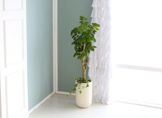 대표적인 개업축하화분 실내공기정화식물 - 크기도 적당해서 관리가 쉬운 녹보수