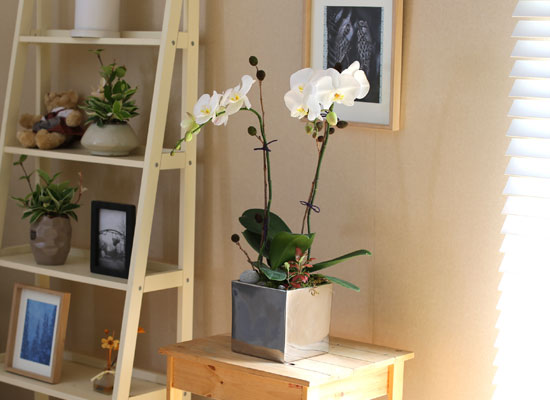 Decorating with Orchids(서양란) - 세련돈 서양란 화이트호접