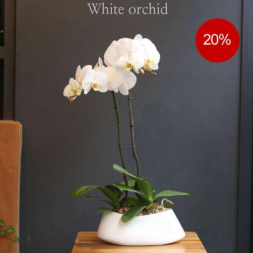 멋진 스타일의 백색호접란독특한 분위기를 주는 고급스러운 서양란
