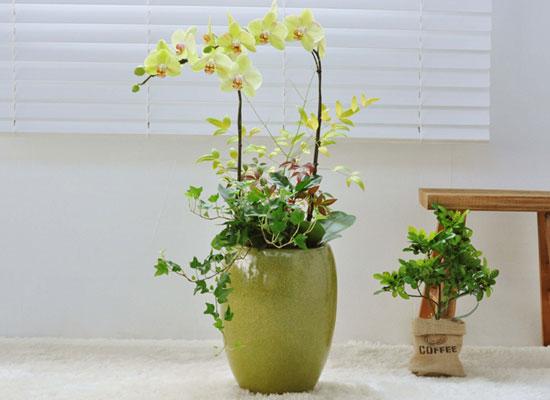 나비를 닮은 모습의 호접란 - 노란미니호접