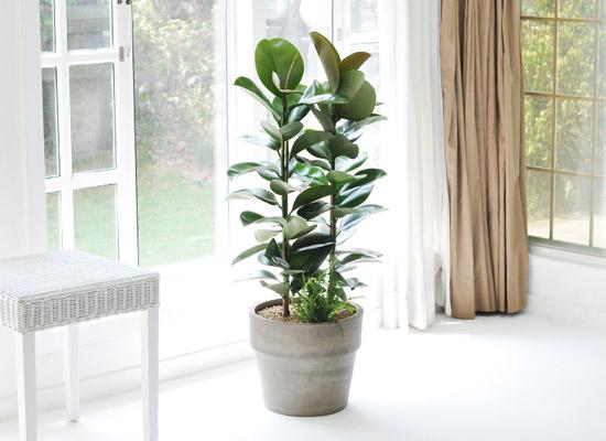 집안의 작은 정원 - 고무나무 [화기변경]