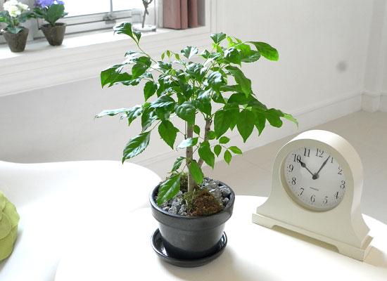 [수도권배송] 공기정화식물 - 녹보수A