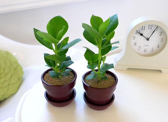 [수도권배송] 공기정화식물 - 크루시아 2set