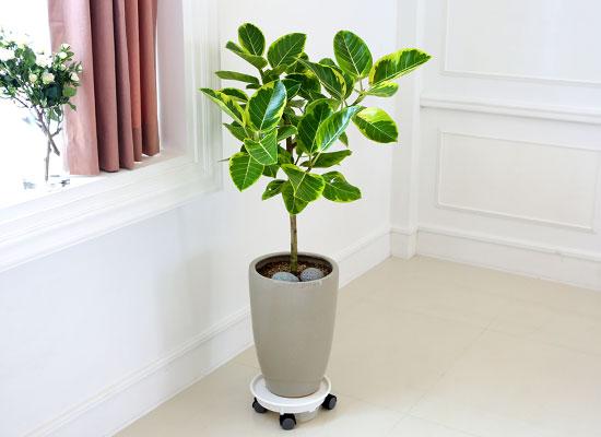 심플 관엽화분 - 뱅갈고무나무
