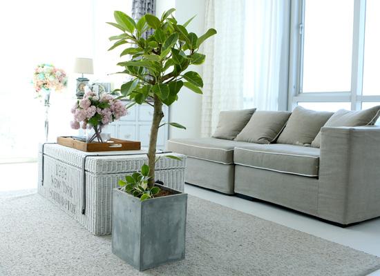 도시 정원 - 실내공기 정화하자 - 공간활용에 좋은  뱅갈고무나무