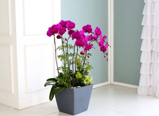 꽃이 아름다운 개업축하선물 서양란 - 곱고 진한빛깔의 핑크호접란  대
