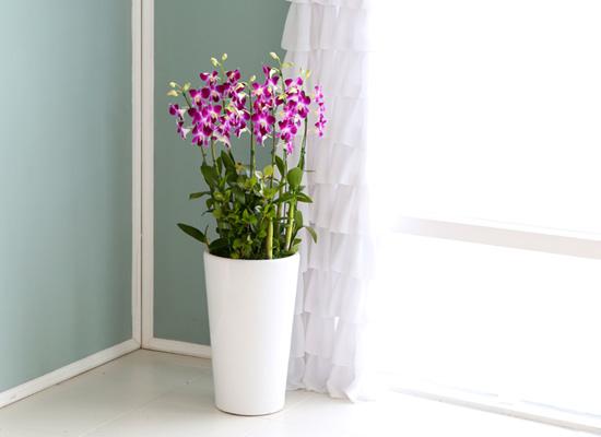 꽃이 아름다운 개업축하선물 서양란 - 선호도가 많고 품종도 많은 덴파레핑크 대