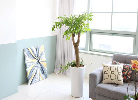 대표적인 개업축하화분 실내공기정화식물 - 행복을 드립니다! 행복나무(받침포함)