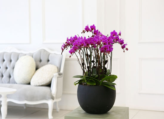 Living with flowers everyday - Newyork style Orchid 핑크리틀잼