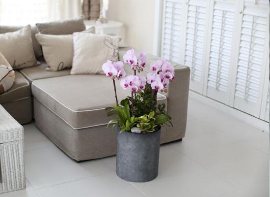 시선을 머물게 하는 실내 식물 - 당당한 핑크호접란(루치아핑크)
