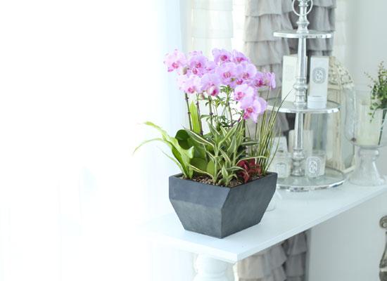 시선을 머물게 하는 실내 식물 - 사랑스러운 연핑크호접(핑크송)
