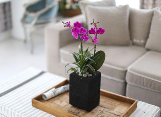 시선을 머물게 하는 실내 식물 - 화려한 멋이 있는 공간, 핑크 만천홍(빈티지 숯화분)