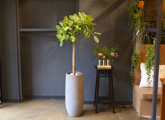 Office & nature 뱅갈고무나무 (*화기 단종으로 다른 모양으로 대체)