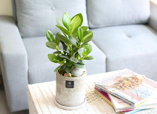 동글동글 귀여운 잎 -  쿠루시아