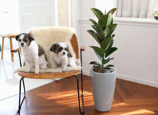 코로나이겨내자 면역력을 길러주는 식물베스트 -고무나무