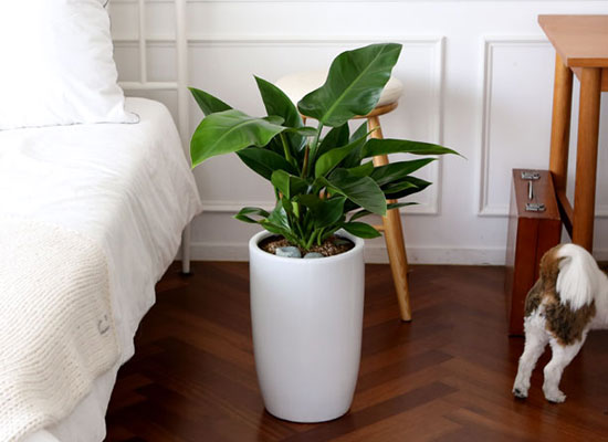 코로나이겨내자 면역력을 길러주는 식물베스트 - 콩고나무